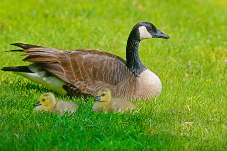 canada goose: Mother Canada Goose and goslings.