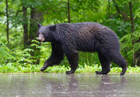 black bear: Closeup Black Bear walking in the rain.