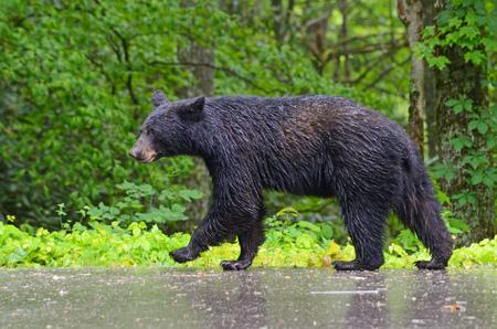 oso negro: Oso negro que camina en la lluvia. Foto de archivo