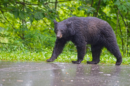 Black Bear walking in the rain Smokies. Stock Photo