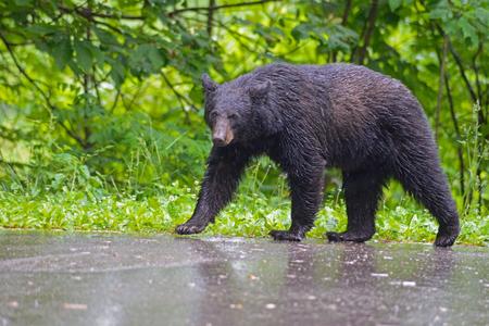 smokies: Oso negro que camina en el Smokies lluvia.