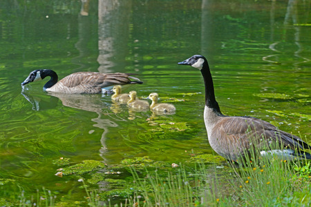 Swimming Canadian Geese pair with babies.