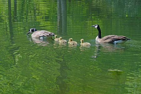 canadian geese: Canadian Geese pair with babies swimming.