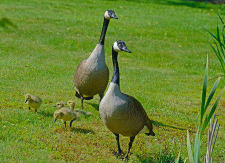 canadian geese: Pair of Canadian Geese with goslings.