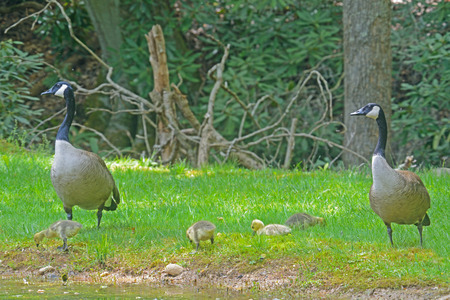 canadian geese: Canadian Geese pair with babies.