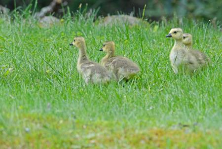 canadian geese: Baby Canadian Geese goslings