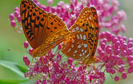 great smokies: Two Great Spangled Fritillary Butterflies feeding on pink Milkweed.