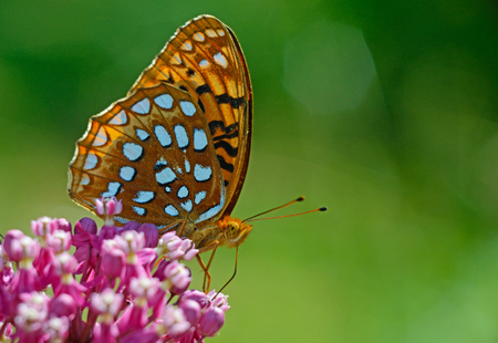 spangled: Great Spangled Fritillary Butterfly feeding on pink milkweed plants.