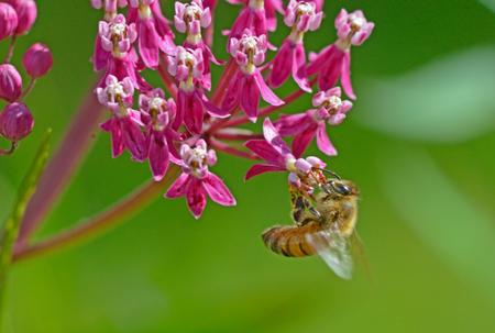 honeybee: Honeybee hangs from a pink Milkweed plant.