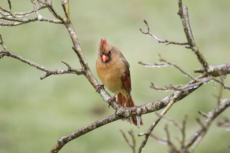 redbird: Female Cardinal bird perched in ice storm. Stock Photo