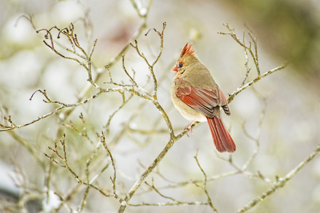 redbird: Female Cardinal bird perched with blurry background.
