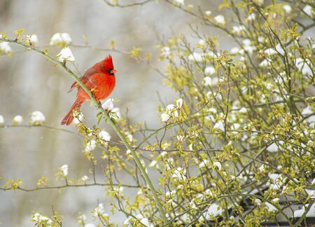 redbird: Beautiful male Cardinal perched on a snowy rose bush. Stock Photo