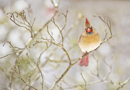 redbird: Beautiful female Cardinal with blurry background.