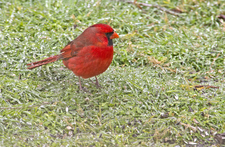 redbird: Male Cardinal bird sits in frozen grass.