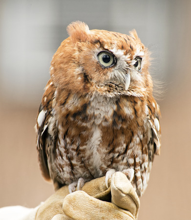 handlers: Small Screech Owl sits on a handlers glove.