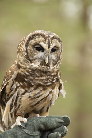 handlers: Barred Owl sits on a handlers glove.