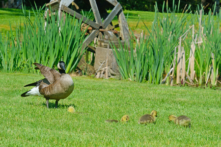 canada goose: Canada Goose mother, goslings near a small water wheel.