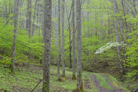 smokies: Scenic old road in mountains with Dogwoods blooming.