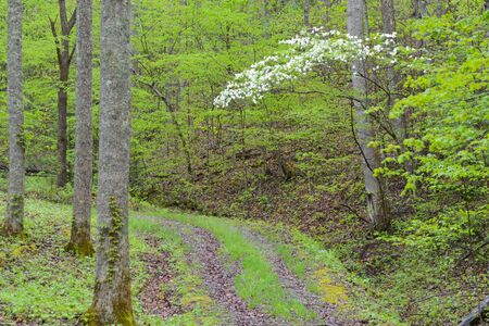 the smokies: Dogwoods bloom over mountain road in the Smokies. Stock Photo