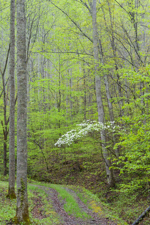 smokies: Vertical, Dogwoods bloom along mountain road.