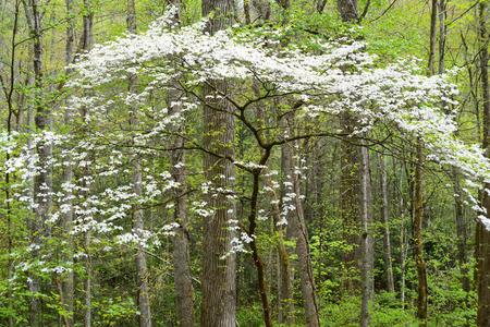 smokies: Dogwood Trees blooming in the Smokies in spring.