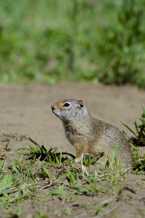 sitting on the ground: Thompsons Ground Squirrel stands near his den. Stock Photo