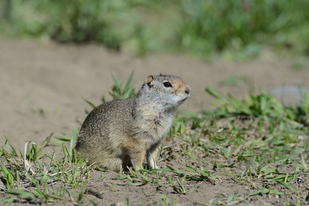 burrow: Thompsons Ground Squirrel sits close to his burrow. Stock Photo