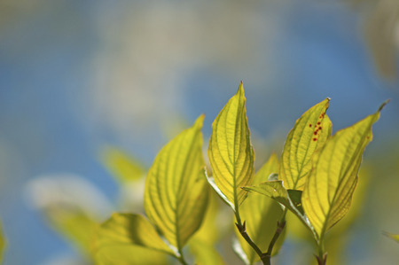 great smokies: Green leaves against a blue sky in spring. Stock Photo