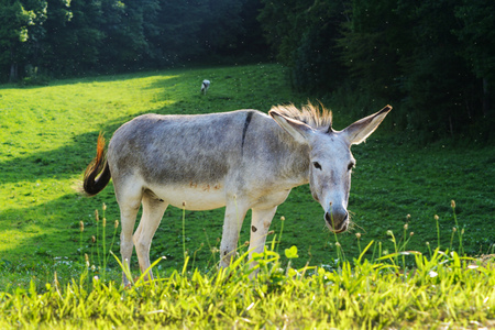 long nose: Gray donkey feeds on green grass. Stock Photo