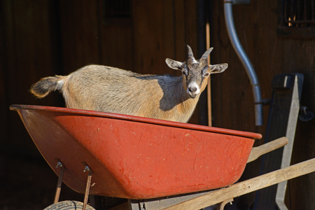 brown goat: Little brown goat stands in red wheel barrow.