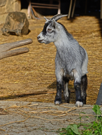 barnyard: Little gray goat stands in a barnyard.