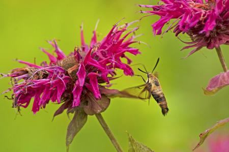 小さなハチドリ蛾蜂香油花を食べます。 写真素材