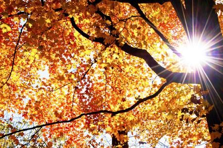 orange sunset: Sunburst around black tree trunk and yellow, orange leaves.