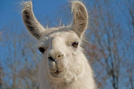 fuzzy: Head shot of White fuzzy llama with blue background. Stock Photo