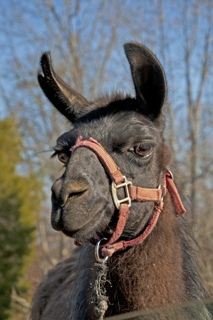 halter: Closeup portrait of llama with red halter. Stock Photo