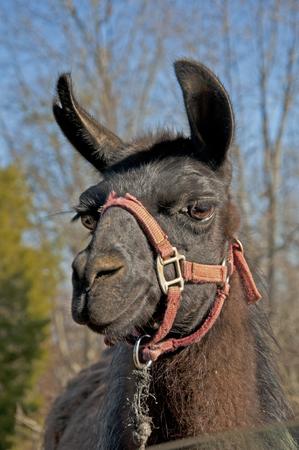smokies: Closeup portrait of llama with red halter. Stock Photo