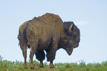 thundering: Lone Bison stands on a hill in Yellowstone.