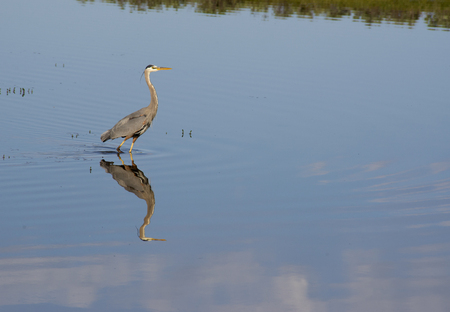 silently: Water reflections of Great Blue Egret slowly fishing. Stock Photo
