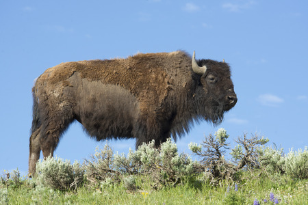 thundering: Single Bison stands alone on a hilltop in Yellowstone.
