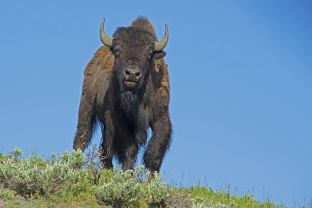 thundering: Lone Bison against a blue sky looking at the camera.