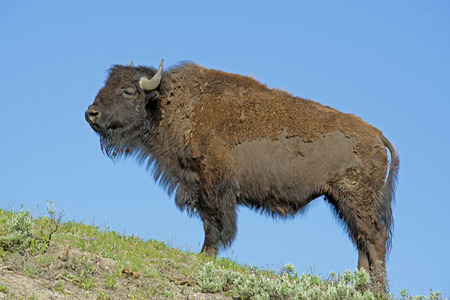 thundering: Lone Bison standing on hilltop against a blue sky.