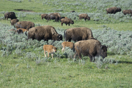 thundering: Bison herd and babies grazing on green grass. Stock Photo