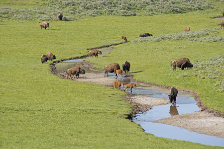 thundering: Herd of Bison near a stream of water in Yellowstone. Stock Photo