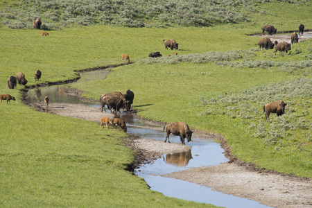 thundering: Buffalo herd drinking from a stream in Yellowstone. Stock Photo