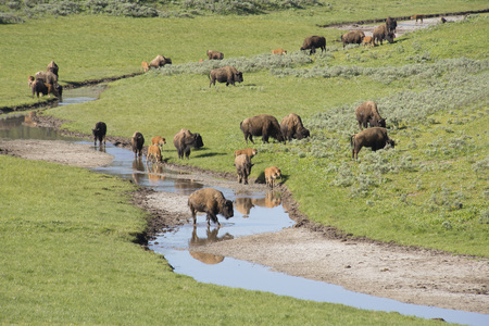 plains indian: Herd of Bison at water stream in Yellowstone.