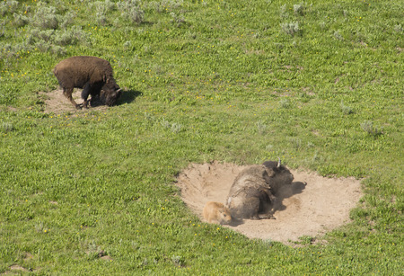 plains indian: Mother and baby Bison roll in wallow in Yellowstone. Stock Photo