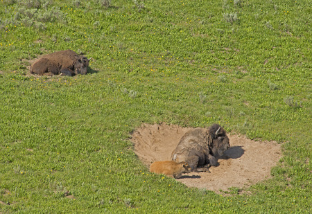 plains indian: Mother and baby Bison lay in wallow. Stock Photo