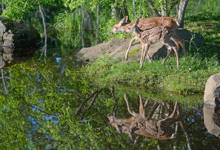 mother and baby deer: Water reflections of two White-tailed deer fawns.