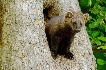 animal den: Closeup image of a fisher animal in a den tree.