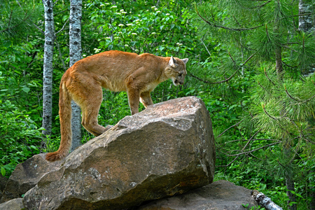 treed: Large mountain lion on top of a boulder. Stock Photo